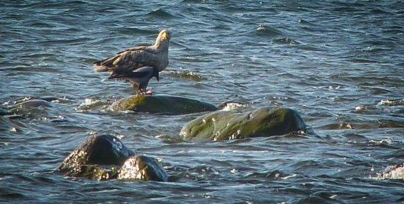 Havsörn och kråka, Kapelludden, Öland maj 2013