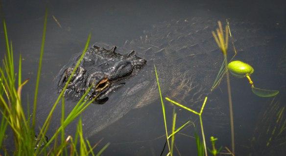 Everglades-3