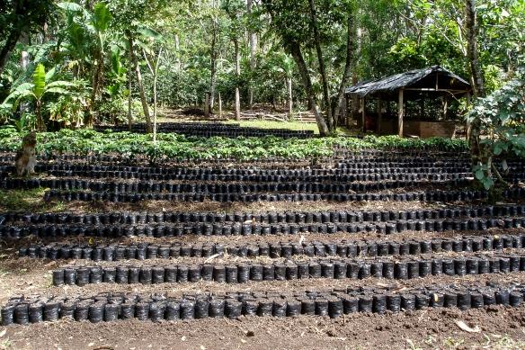 Här odlar man upp nya kaffeplantor som kan planteras ut när gamla kaffeplantor skall bytas ut.