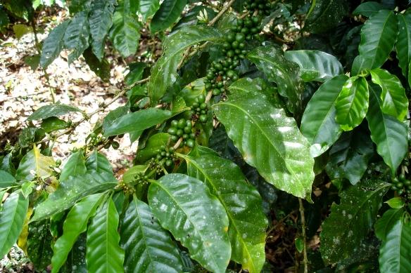 Kaffebuskar vill ha skugga och odlas inne i regnskog eller t.ex. bananodlingar.