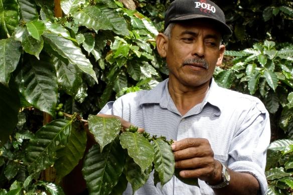 Ekologisk odling av kaffe vid Penas Blancas i Nicaragua.