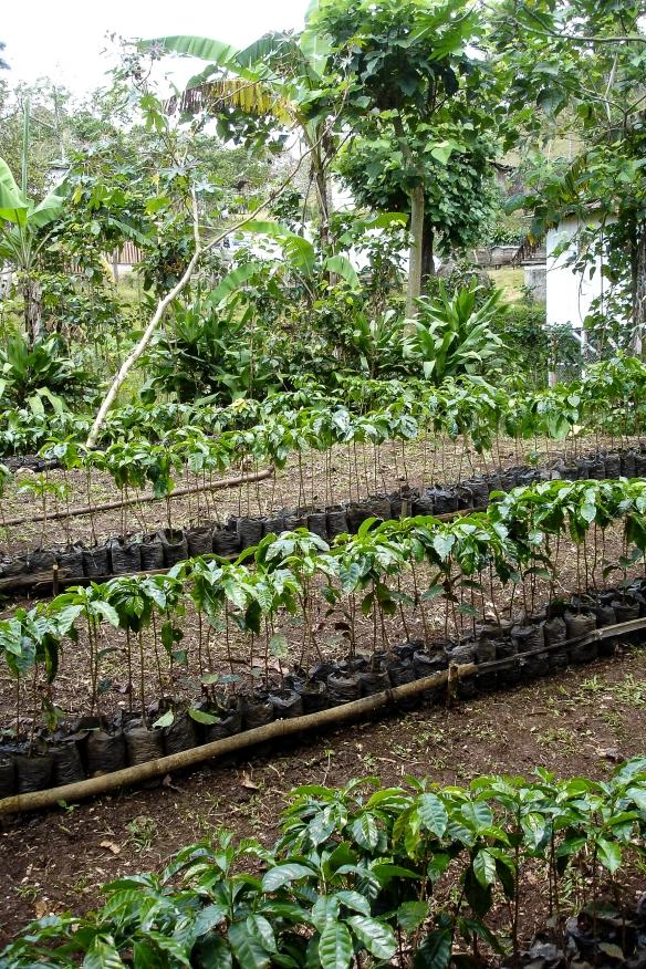 Kaffet odlas utan bekämpningsmedel med organisk gödsel.