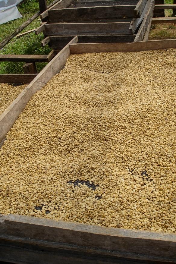 När kaffebönorna skördats och tagits ut läggs de upp för att torkas i solen.